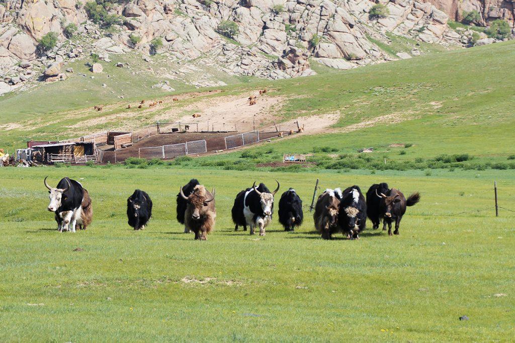 Yacks Mongolei