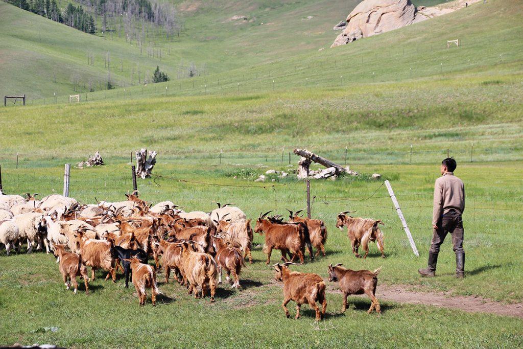 Ziegenhirte Mongolei