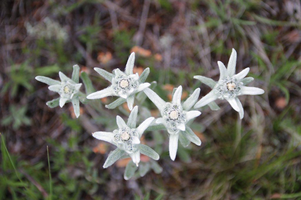 Edelweiss Mongolei
