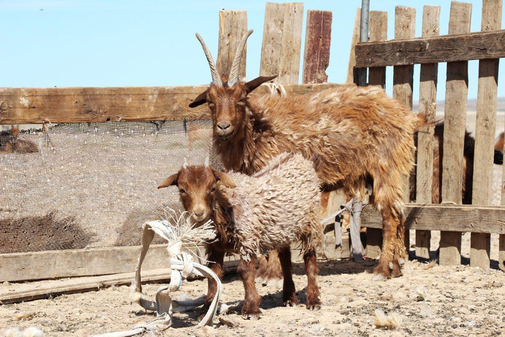 Ziegenstall Mongolei