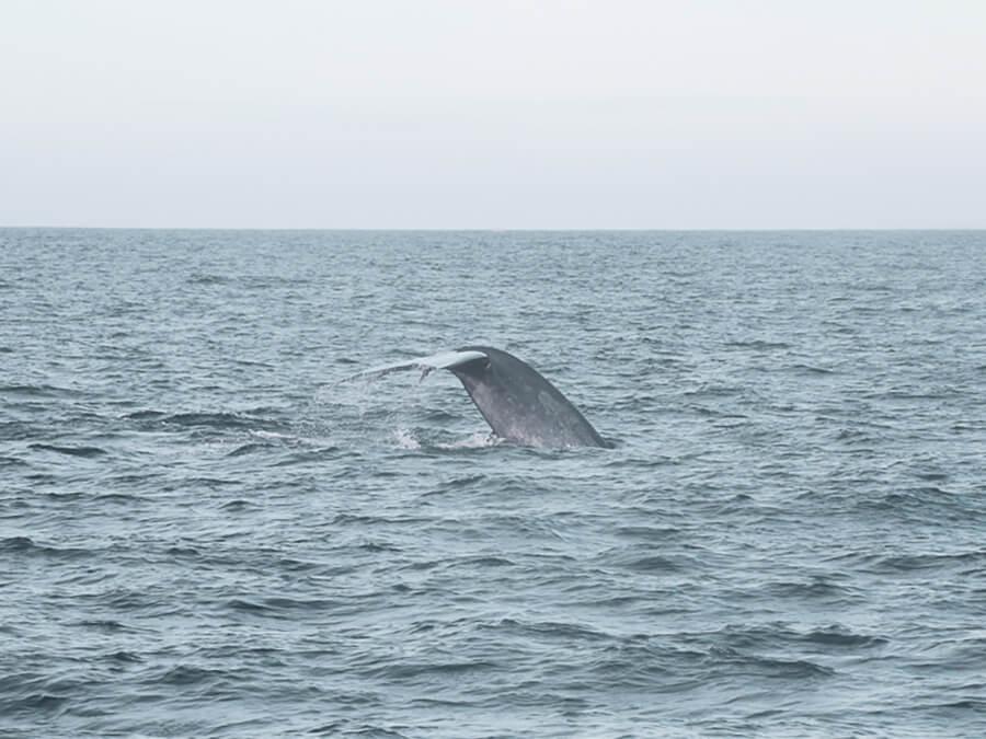 Reisebericht Sri Lanka, Whale