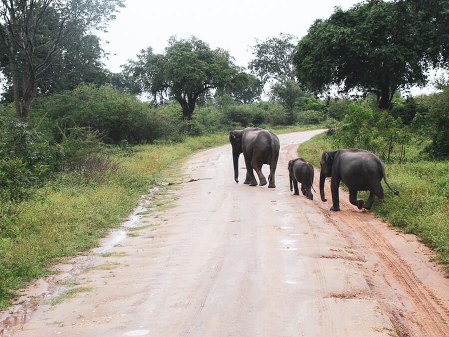 Reisebericht Sri Lanka, Elefants, Udawalawe Nationalpark