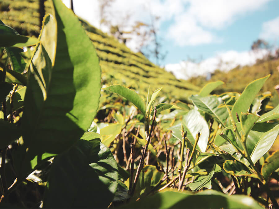 Reisebericht Sri Lanka, Green Tea Plant, Tea Plantage