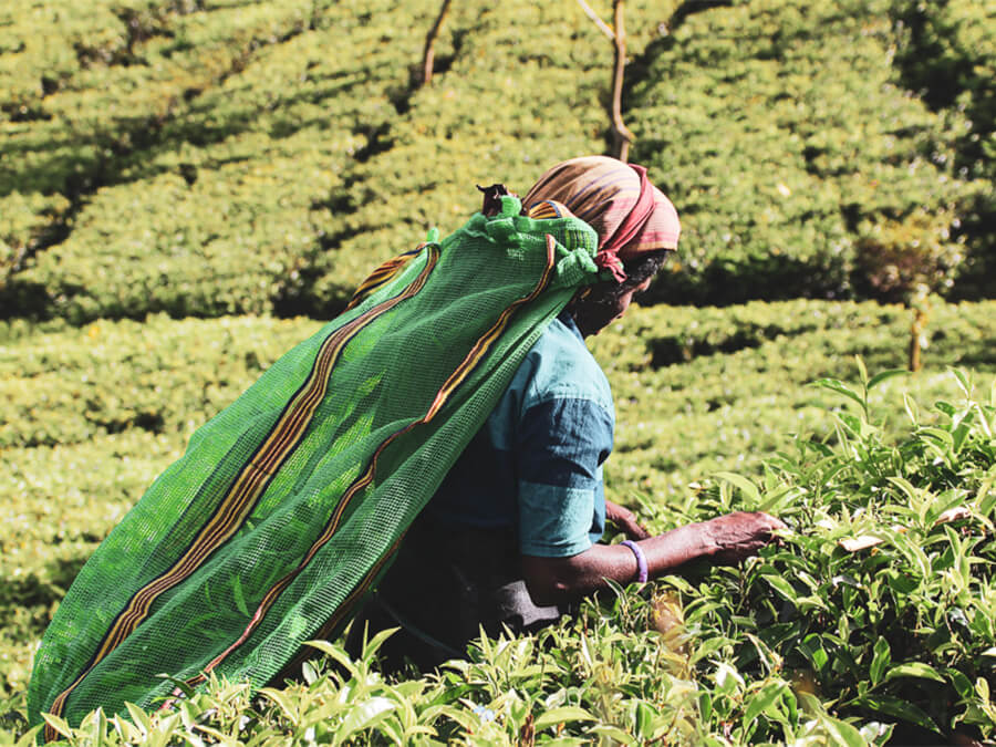 Reisebericht Sri Lanka, Arbeiterin Teefarm