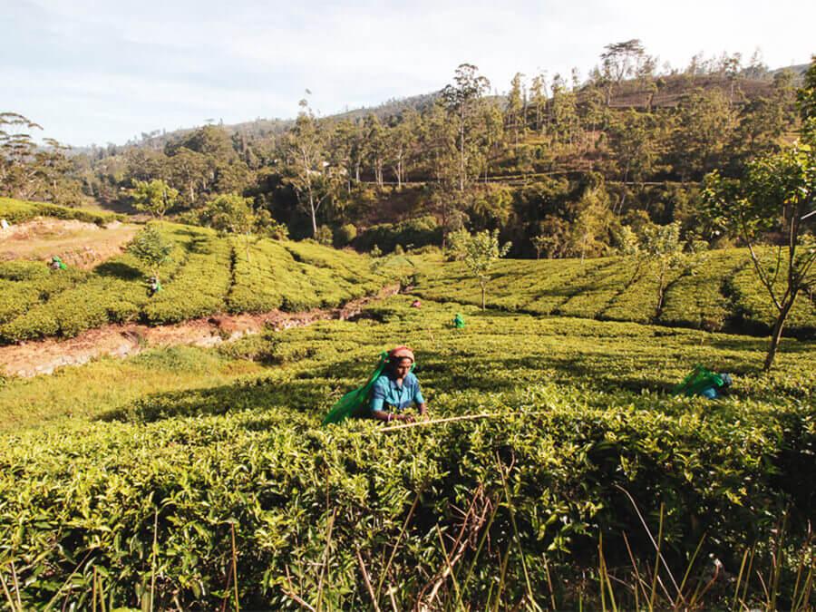 Reisebericht Sri Lanka, Arbeiterin Teefarm, Hatton