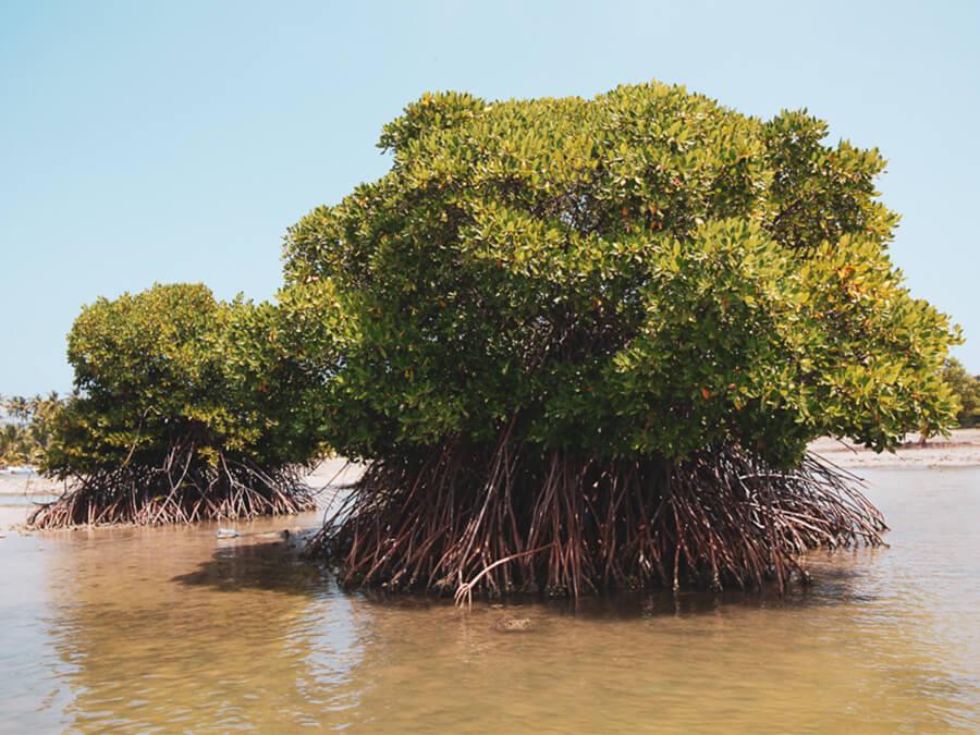 Reisebericht Sri Lanka, Mangrove