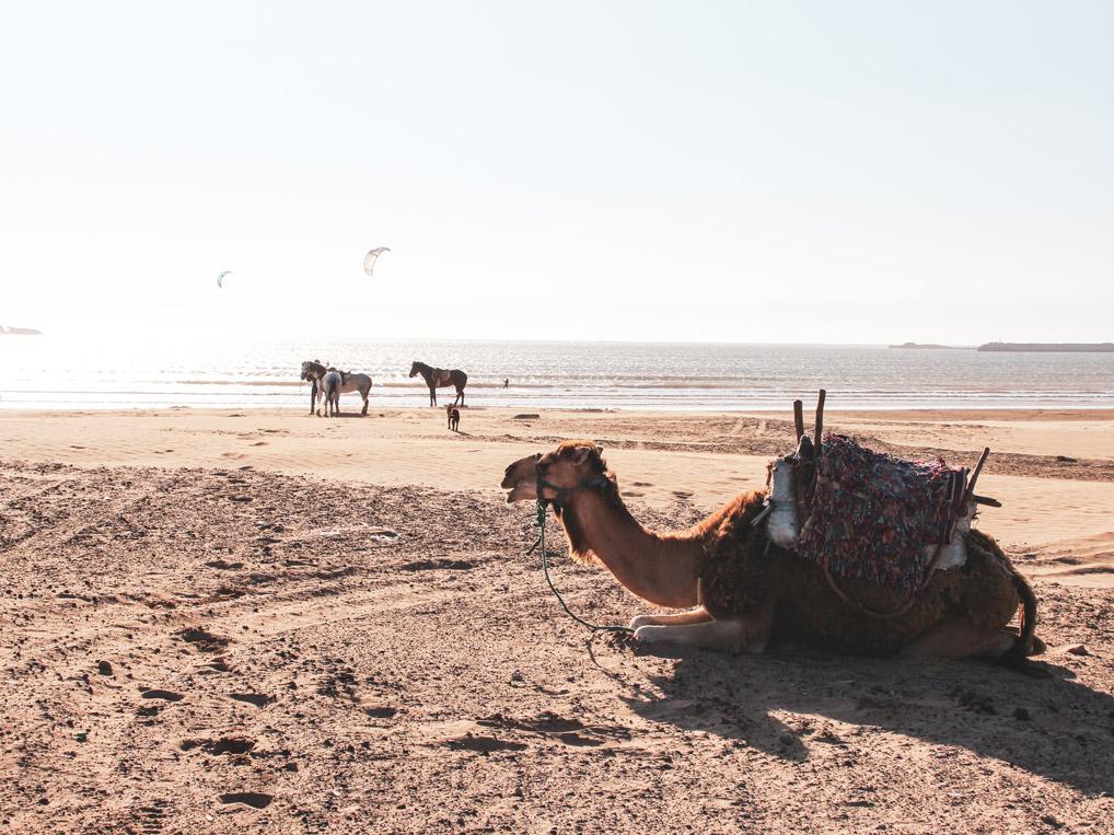 Roadtrip Marokko, Essaouira, Kamel, Strand, Meer
